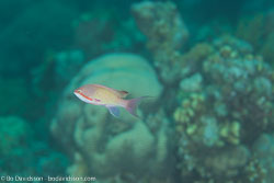 BD-120423-Fury-Shoal-6246-Pseudanthias-squamipinnis-(Peters.-1855)-[Sea-goldie].jpg